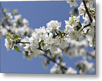 Apple Trees In Full Bloom Metal Print by Wilfried Krecichwost