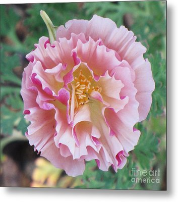 Metal Print featuring the photograph Appleblossom Poppy by Michele Penner