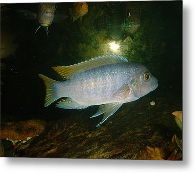 Metal Print featuring the photograph Aquarium Life by Bonfire Photography