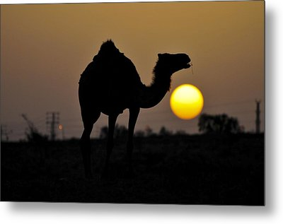Arabian Camel Metal Print by Photostock-israel