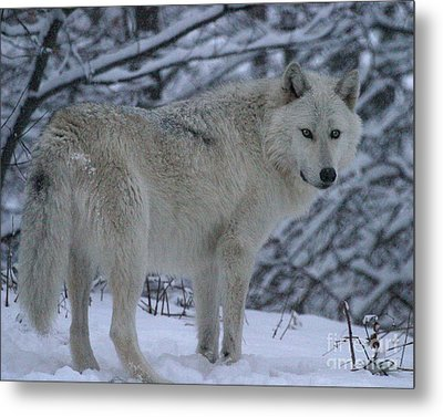 Arctic Wolf In Snowstorm Metal Print
