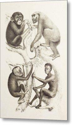 Artwork Of Four Apes, 1874 Metal Print by Mehau Kulyk