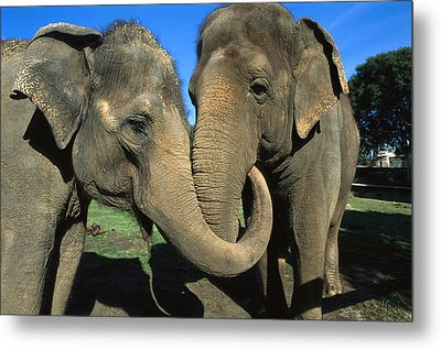 Asian Elephant Elephas Maximus Pair Metal Print by Zssd