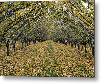 Metal Print featuring the photograph Asian Pear Trees by Sami Martin
