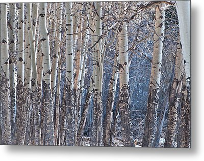 Metal Print featuring the photograph Aspen Grove by Colleen Coccia