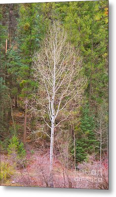 Aspen Tree Forest Road 249 Metal Print