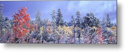 Aspens In Fall With Snow, Near 100 Mile Metal Print by David Nunuk