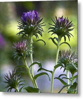 Metal Print featuring the photograph Asters by Michael Friedman