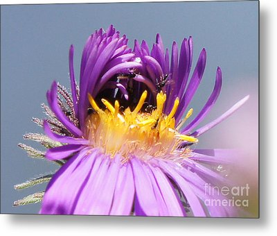 Asters Starting To Bloom Close-up Metal Print by Robert E Alter Reflections of Infinity