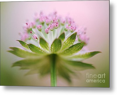 Astrantia Splash Metal Print by Jacky Parker