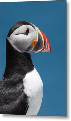 Atlantic Puffin Metal Print by Bruce J Robinson