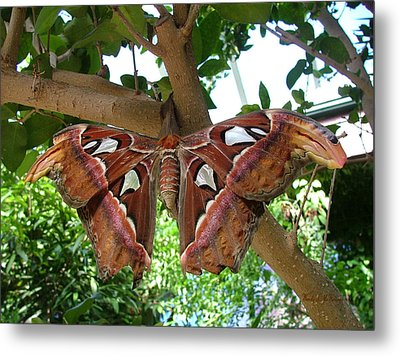 Atlas Moth Metal Print by Wendy McKennon