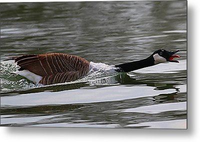 Metal Print featuring the photograph Attack Of The Canadian Geese by Elizabeth Winter