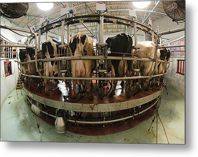 Automatic Milking Machine Metal Print by Photostock-israel
