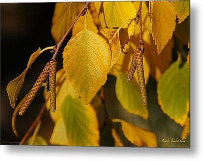 Autumn Birch In Southern Oregon Metal Print by Mick Anderson