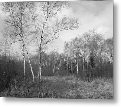 Autumn Birches Metal Print by Anna Villarreal Garbis