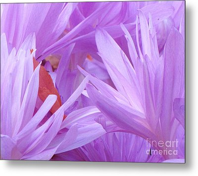Metal Print featuring the photograph Autumn Crocus by Michele Penner