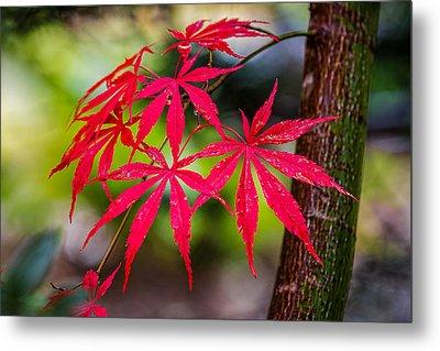 Autumn Japanese Maple Metal Print by Ken Stanback