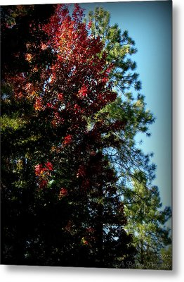 Autumn Maple And Ponderosa Pines Metal Print by Aaron Burrows