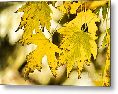 Autumn Maple Leaves Metal Print by James BO  Insogna