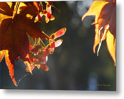 Autumn Maple Metal Print by Mick Anderson