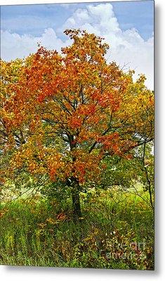 Autumn Maple Tree Metal Print