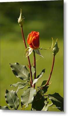 Autumn Rose Metal Print by Mick Anderson