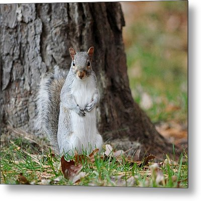 Autumn Squirrel Metal Print by Diane Giurco