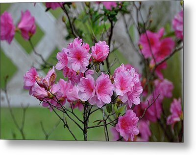 Metal Print featuring the photograph Azaleas by Helen Haw