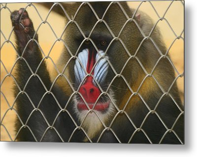 Baboon Behind Bars Metal Print by Kym Backland