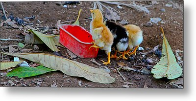 Baby Chickens Metal Print
