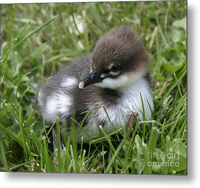 Baby Common Merganser II Metal Print