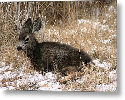 Metal Print featuring the photograph Baby Deer At Rest by Nola Lee Kelsey