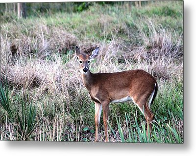 Metal Print featuring the photograph Baby Deer At Viera by Jeanne Andrews