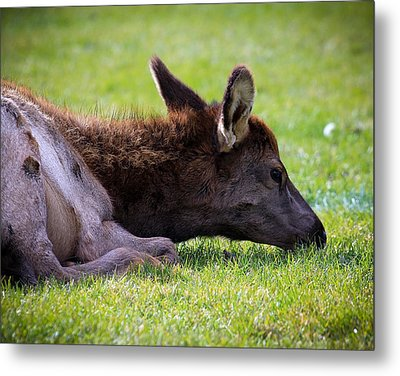 Metal Print featuring the photograph Baby Elk by Steve McKinzie