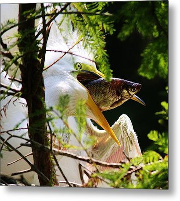 Baby Great White Egret With Lunch Metal Print by Paulette Thomas