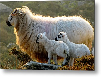 Metal Print featuring the photograph Baby-lambs by Barbara Walsh