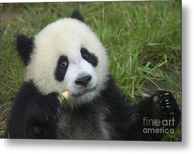 Metal Print featuring the photograph Baby Panda by Craig Lovell