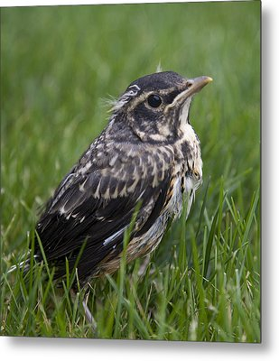 Metal Print featuring the photograph Baby Robin by John Crothers