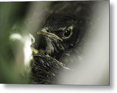 Metal Print featuring the photograph Baby Robin by Tom Gort