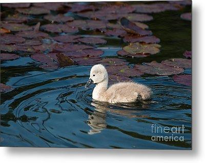 Baby Swan Metal Print by Andrew  Michael