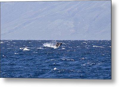Baby Whale Breach Metal Print by Chris Ann Wiggins