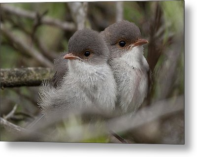 Metal Print featuring the photograph Baby Wrens by Serene Maisey