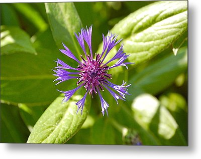 Bachelor's Button Metal Print by Mary McAvoy