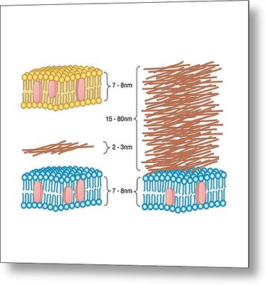 Bacterial Cell Wall Comparison, Artwork Metal Print by Peter Gardiner