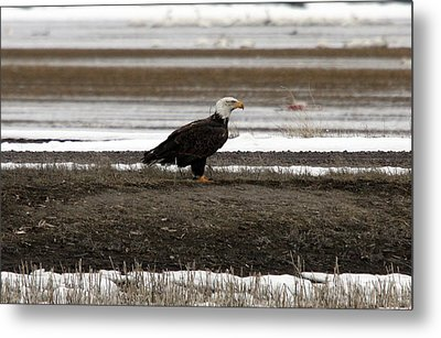 Bald Eagle - 0120 Metal Print