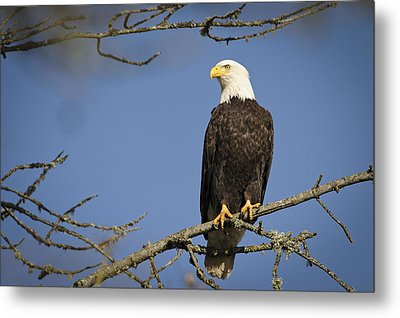 Bald Eagle Metal Print by Bruce McCammon