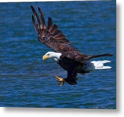 Bald Eagle On The Hunt Metal Print