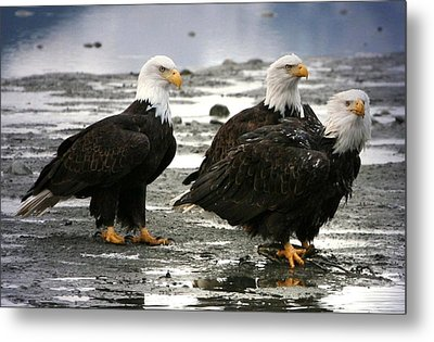 Bald Eagle Trio Metal Print by Carrie OBrien Sibley