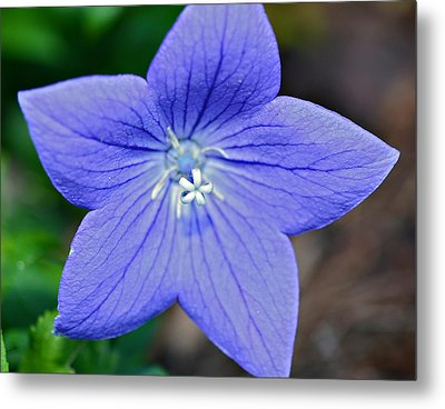 Balloon Flower Metal Print by Susan Leggett